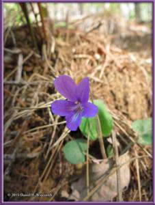 May02_07_MtKurodake_Viola_phalacrocarpaRC