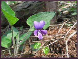 May02_20_MtKurodake_Viola_phalacrocarpaRC