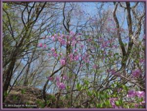 May02_97_MtKurodake_Mountain_AzaleaRC