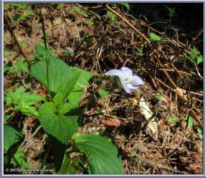 May03_03_MtKiritou_Viola_acuminataRC