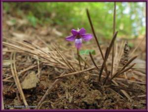 May03_76_MtKiritou_Viola_violacea_var_makinoiRC