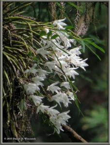 May23_32_Takao_Dendrobium_moniliformeRC