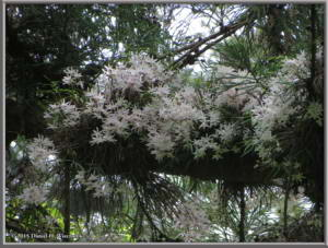 May23_46_Takao_Dendrobium_moniliformeRC
