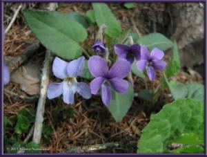 May2nd_MisakaPass035_ViolaPhalacrocarpaRC