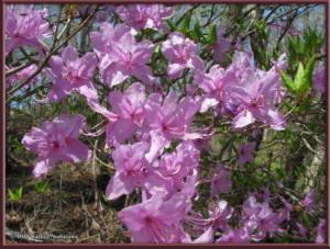 May2nd_MisakaPass170_RhododendronDilatatumRC