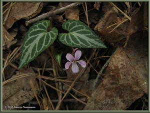May3rd_MtKiritou151_ViolaViolaceaFVersicolorRC