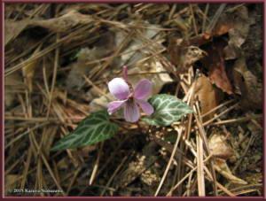 May3rd_MtKiritou180_ViolaViolaceaFVersicolorRC