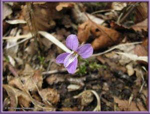 May5th_YunosawaPass059_ViolaSelkirkiiRC