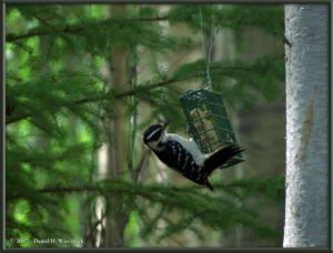May17_1_WoodpeckerRC