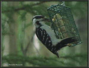 May17_3_WoodpeckerRC