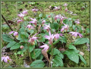 May21_05_Calypso_bulbosa_var_americanaRC
