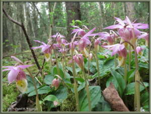 May21_09_Calypso_bulbosa_var_americanaRC