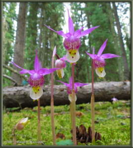 May21_17_Crop_Calypso_bulbosa_var_americanaRC