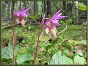 May21_28_Calypso_bulbosa_var_americanaRC