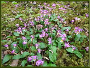 May23_22_Calypso_bulbosa_var_americanaRC