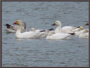 May24_02_AnchorageToFairbanks_Snowgeese_NenanaRC