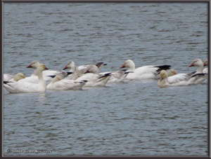 May24_03_AnchorageToFairbanks_Snowgeese_NenanaRC