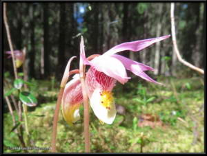 May27_01_UAF_West_CalypsoOrchidRC