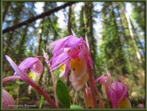 May27_24_UAF_West_CalypsoOrchidRC