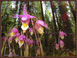 May27_48_UAF_West_CalypsoOrchidRC