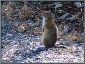 May6_054_DenaliSavageRiver_GroundSquirrelRC