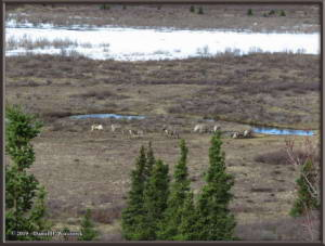 May6_084_DenaliSavageRiver_CaribouRC