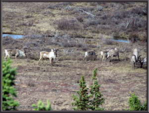 May6_088_DenaliSavageRiver_CaribouRC