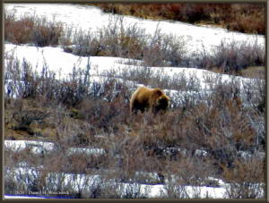May11_25Adj_DenaliNP_GrizzlyBearRC