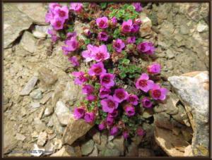 May12_145_BisonGulch_PinkFlowerRC