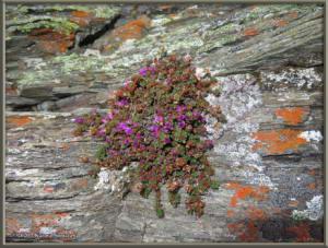 May12th_259_BisonGulch_SaxifragaOppositifoliaRC