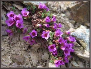 May12th_294_BisonGulch_SaxifragaOppositifoliaRC