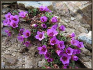 May12th_297_BisonGulch_SaxifragaOppositifoliaRC