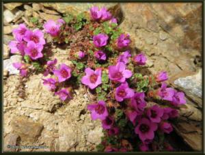 May12th_298_BisonGulch_SaxifragaOppositifoliaRC