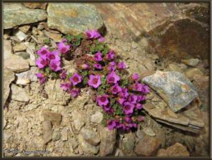 May12th_299_BisonGulch_SaxifragaOppositifoliaRC
