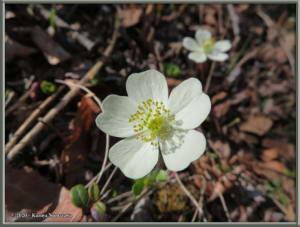 May20th_025_GrapefruitRocks_AnemoneParvifloraRC