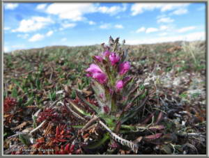 May23_46_TwelvemileSummit_PedicularisLanataRC