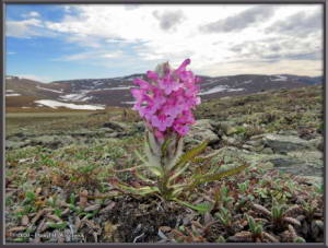 May24_018_PedicularisLanata_BelowEagleSummitRC