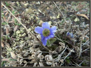May24_033_May24_033_AnemoneDrummondii_BelowEagleSummitRC