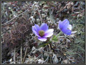 May24_040_May24_040_AnemoneDrummondii_BelowEagleSummitRC