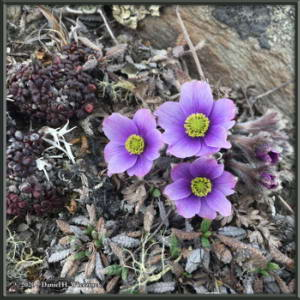 May24_2_AnemoneMulticeps_EagleSummitRC