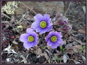 May24th_075__EagleSummit_AnemoneMulticepsRC