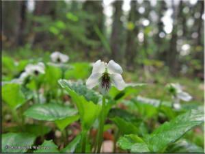 May23_30_UAF_ViolaRenifoliaRC