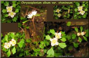 TakaoSan5_Chrysospleniumalbumvarstamineum.jpg
