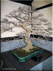 ShowaKinenFeb05Bonsai18.jpg