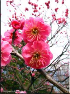 Feb06BubaigawaraPlum46RC.jpg