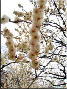 Feb06BubaigawaraPlum55RC.jpg