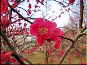 Feb17_BubaiPlumBlossom05RC.jpg