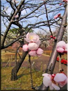 Feb17_BubaiPlumBlossom15RC.jpg