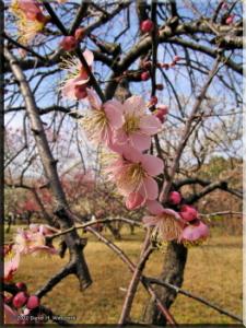 Feb17_BubaiPlumBlossom17RC.jpg