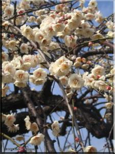 Feb17_BubaiPlumBlossom19RC.jpg